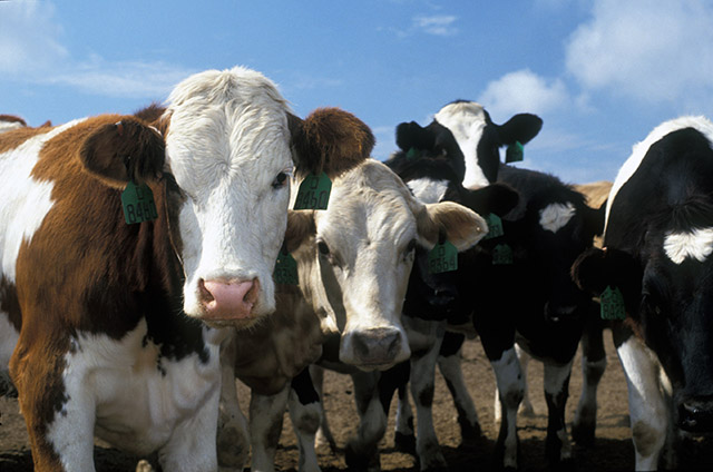 1000 cattle ate radioactive feed in Japan